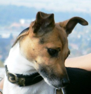 "Jack-Russel-Terrier ""Happy"""