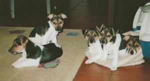 Jack-Russel-Terrier-Welpen, ca. 5 Wochen alt