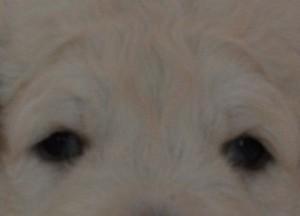 treue Hundeaugen