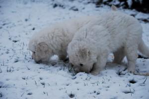 B Wurf der 1. Schnee 1